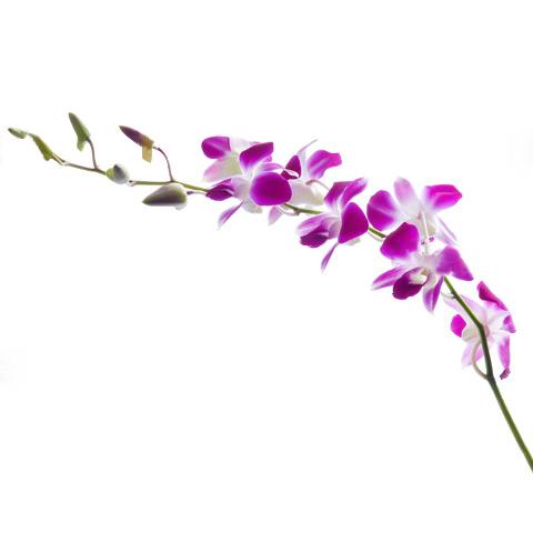 Rama De Orquideas Dendrobium Purpura